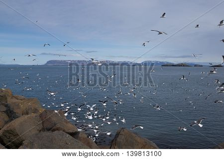 Large flock of seagulls feeding on shore in Iceland
