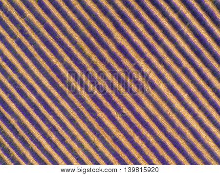 Aerial view of lavender field in full blooming season in diagonal rows
