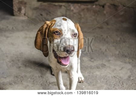 Four-month puppy pointer with white and auburn ears open mouth and pink tongue