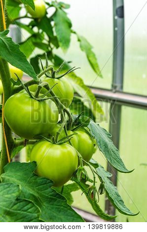 green tomatoes on grow on a branch