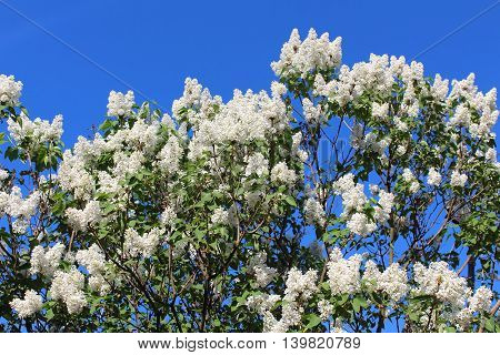 Branches of white lilac blossoms over blue sky