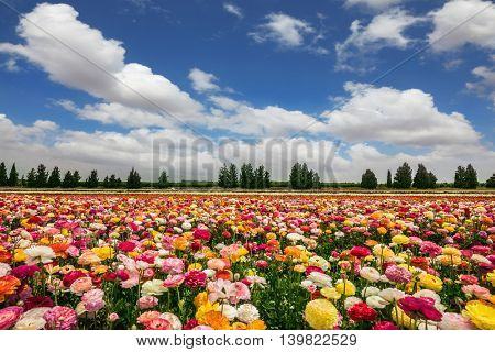 Flower kibbutz on the border with Gaza. Spring flowering buttercups. The magnificent flower carpet of colorful garden buttercups