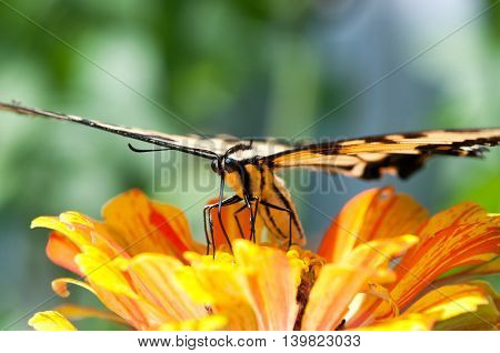 A tiger swallowtail pollinating a marigold bloom.