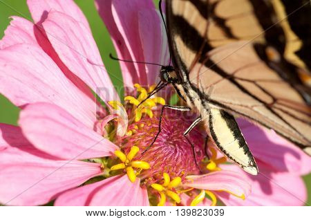 A tiger swallowtail butterfly pollinating a pink flower.