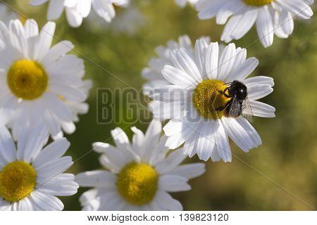 Oxeye Daisy with Bumble Bee close up.