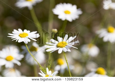 Ox eye Daisy Flowers close up macro