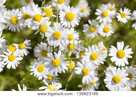 Plenty of Ox-eye Daisy Flowers close up.