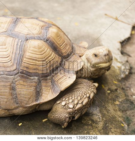 Closed up African Spurred Tortoise on the floor