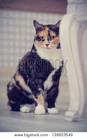 Domestic multi-colored cat with white paws sits on a floor