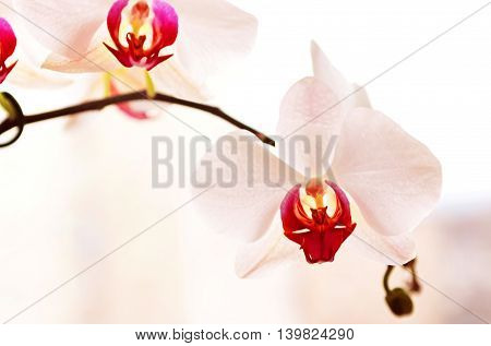 White Delicate Orchid`s Flowers on Branch (close up)