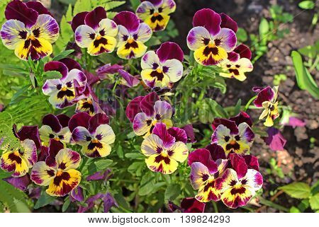 First pansy flowers at spring in the garden