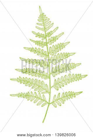Fern green leaf isolated. Vector realistic detailed illustration.