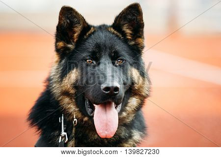 Close Up Young Puppy Black German Shepherd Dog, Alsatian Wolf Dog