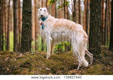 White Russian Dog, Borzoi, Hunting Dog In Spring Summer Forest. These Dogs Specialize In Pursuing Prey, Keeping It In Sight, And Overpowering It By Their Great Speed And Agility