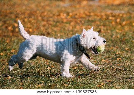 Playful White West Highland White Terrier - Westie, Westy Dog Runnig on Grass Outdoor With Ball