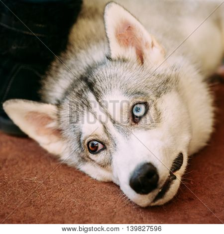 Young Gray And White Husky Dog With Multicolored Eyes Lying On Floor
