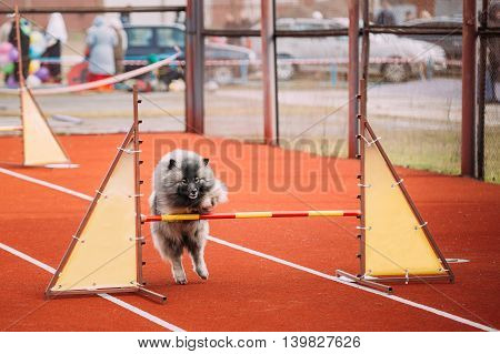 Young Funny Keeshond, Keeshonden Dog Play And Jumping Over Barrier At Training.