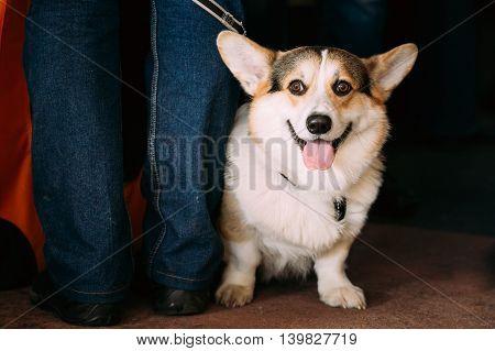 Funny Lovely Happy Smiling Welsh Corgi dog.