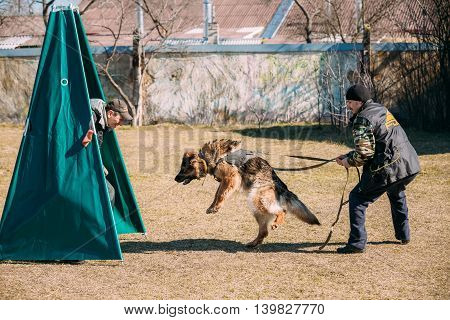 Gomel, Belarus - March 27, 2016: German shepherd dog training. Biting dog. Alsatian Wolf Dog. Deutscher, dog