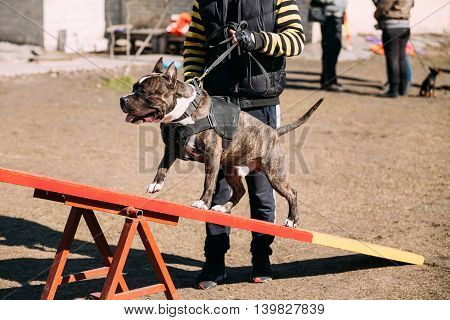 Dog American Staffordshire Terrier On Training Outdoor.
