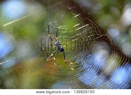 Australian female Golden orb weaver spider and web