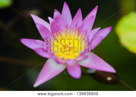 Tropical lotus flower in the pond and blurred background