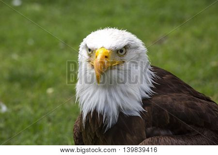 Beautiful white - headed north american bald eagle.