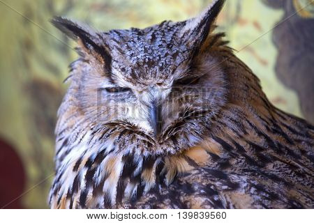 Portrait Of The Eurasian Eagle Owl (bubo Bubo)