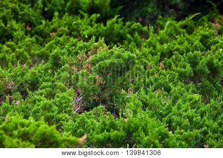 Background of coniferous dwarf trees in landscape design