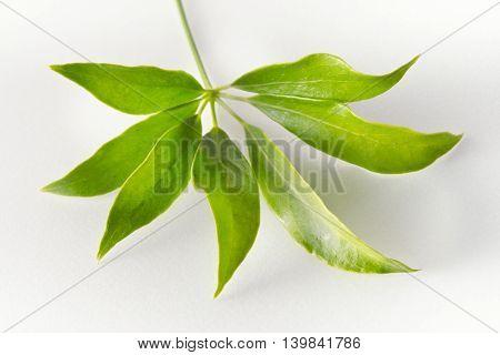 Araliaceae Leaf Isolated On White