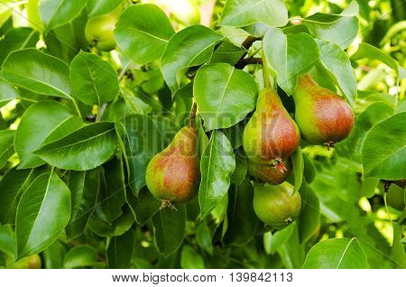 Pears on a tree to a branch in a garden