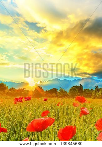 Beautiful wide view over a poppy field background at sunset, in summer season