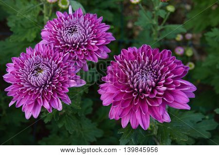 closeup beatiful flowers, purple chrysanthemums in the garden