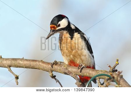 closeup of great spotted woodpecker perched on branch ( Dendrocopos major )