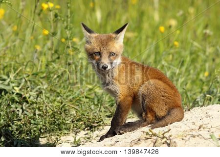 cute european red fox cub looking at the camera ( Vulpes vulpes )