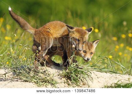european fox cubs eating meat ( Vulpes vulpes wild animals )