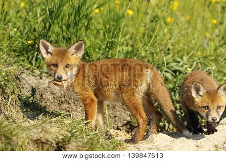 fox cub eating peace of meat ( Vulpes vulpes wild animal )