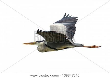 grey heron in flight isolated over white background ( Ardea cinerea )