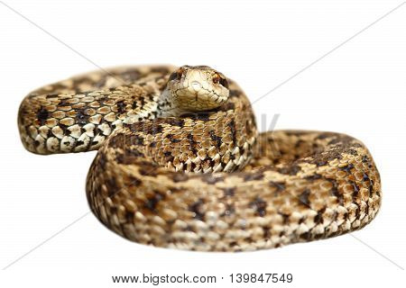 meadow viper ready to strike isolated on white background ( Vipera ursinii rakosiensis female )