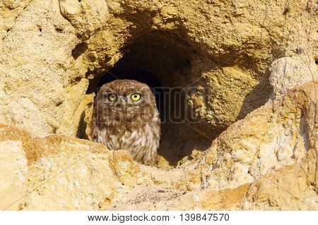 little owl standing at the entrance of the burrow ( Athene noctua )