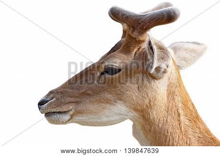 portrait of young fallow deer buck isolated over white background ( Dama dama )