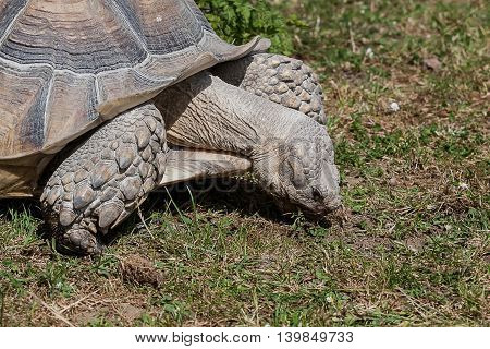 photograph of a Giant Tortoise grazing on grass