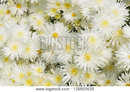 closeup beatiful flowers, white chrysanthemums in the garden