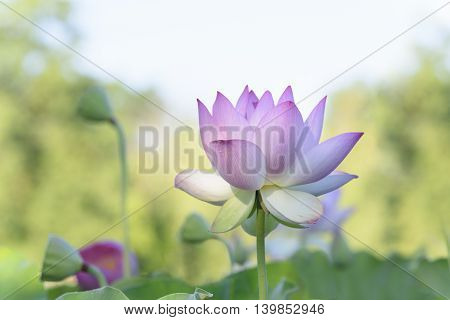 Lotus Flower with Brightly Lit Background in Summer