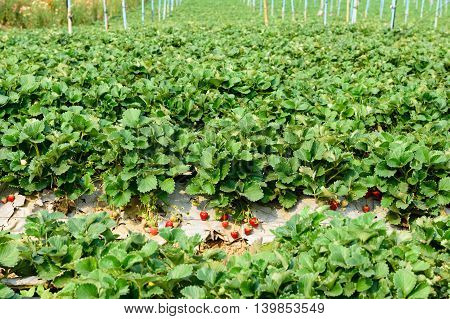 ripe strawberry bush in the farm, agriculture industrial