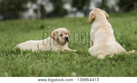 Cute Yellow Labrador Puppy Lying And Looking To His Brother