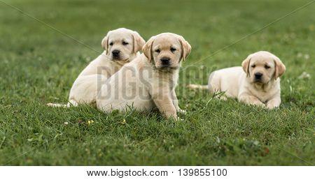 Three Cute Yellow Labrador Puppy Resting Green Grass