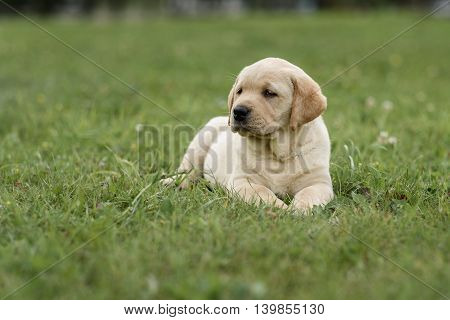Cute Yellow Puppy Labrador Retriever Isolated On Background Of Green Grass