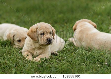 Three Cute Yellow Labrador Puppy Resting On Green Grass