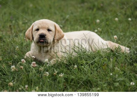 Cute Yellow Labrador Retriever Puppy Stuck Out Her Tongue Isolated On Background Of Green Grass